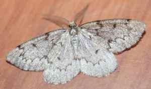 MothsO125